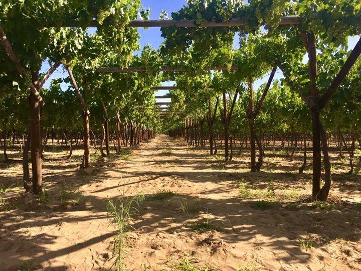 Spaziergang durch die Weinreben beim De Krans in Calitzdorp. Die Gegend ist bekannt für ihre Portweine.
