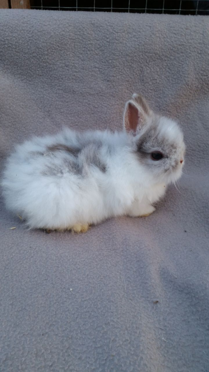 Baby Dwarf Lionhead Rabbits Sale : dwarf, lionhead, rabbits, Netherland, Dwarf, Rabbits, Ilford,, Essex, Pets4Homes, Bunnies,, Rabbit,