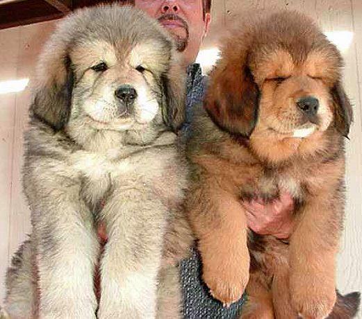 Tibetan Mastiffs. So big and fluffy. Oh, my goodness, and I though our English bullmastiff was cute!!