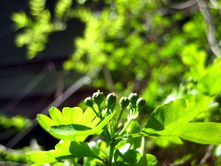 Die Blätter und Blüten des Weißdorns kannst du auch im Frühjar nutzen. Foto von bri weldon - cc-by-2.0