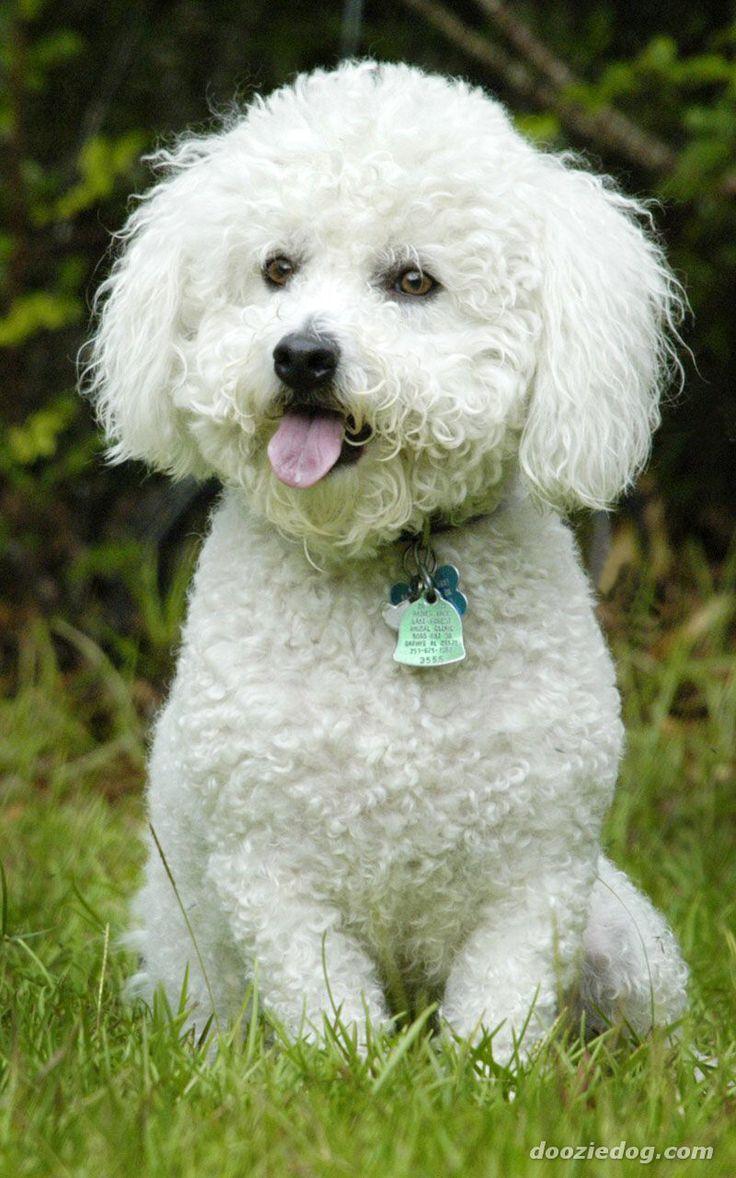 Bild från http://cdn-5.dooziedog.com/dog_breeds/bichon_frise/images/full/Bichon-Frise-11.jpg.pagespeed.ce.O7ONpIiRyP.jpg.