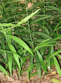 gyömbér növény