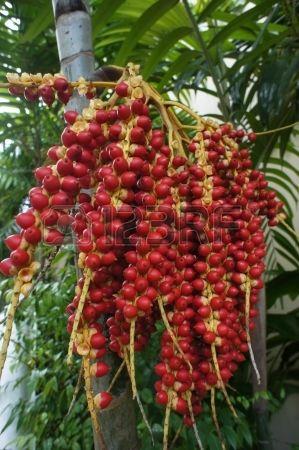 Ripe Betel Nut or Areca Nut Palm