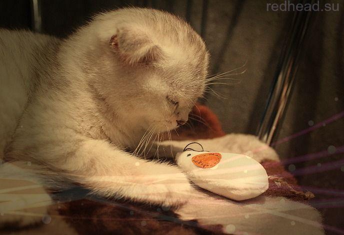 Британский вислоухий котенок/British fold cat - мой новый питомец! | The life of one redhead