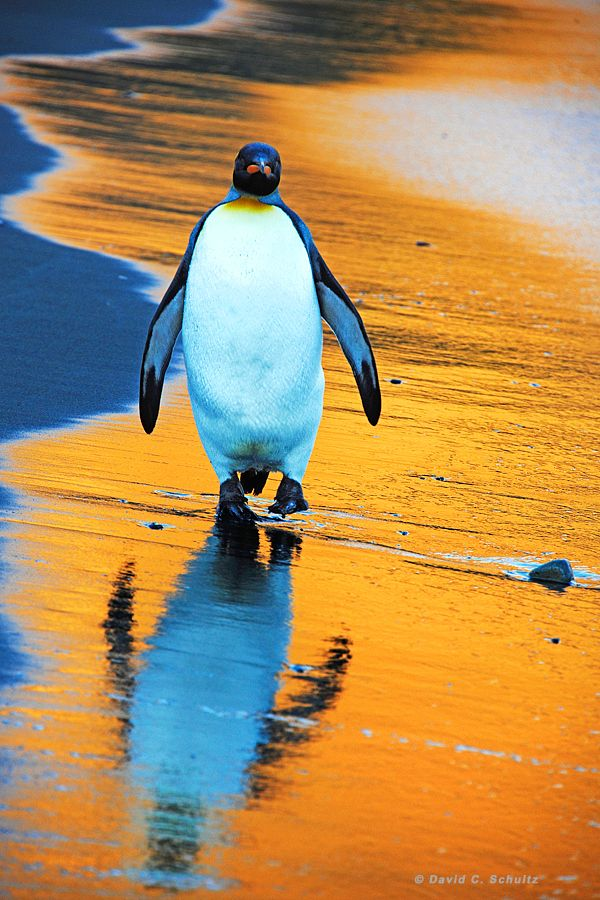 King Penguin out for a sunrise stroll on South Georgia Island, (photo by David C. Schultz, 2/12/2011).