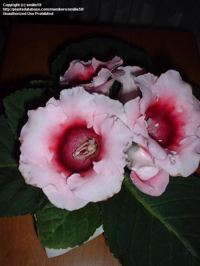 Brazilian Gloxinia Love the colors of burgandy and light pink mix. Texture of the leaf is fuzzy like an African Violet. Large leaves and deep bell flowers.