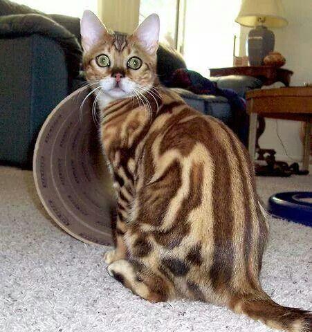 - Gato de Bengala