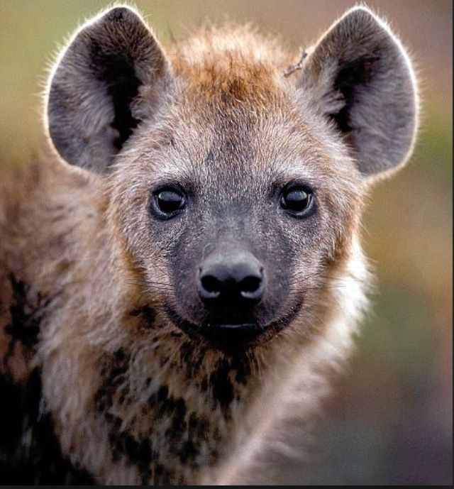 Baby Hyena: 172 Best Images About Hyena And Aardwolf On Pinterest