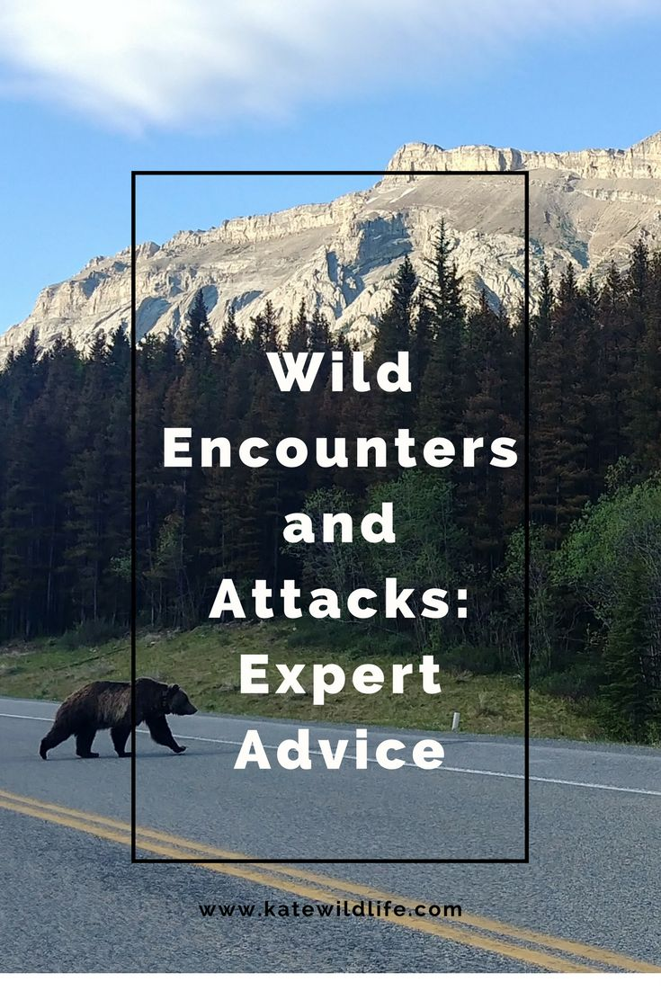 Get an experts opinion on bear safety and wild encounters. Kevin Wilson, CEO of Wild Encounters Ltd shares valuable advice.