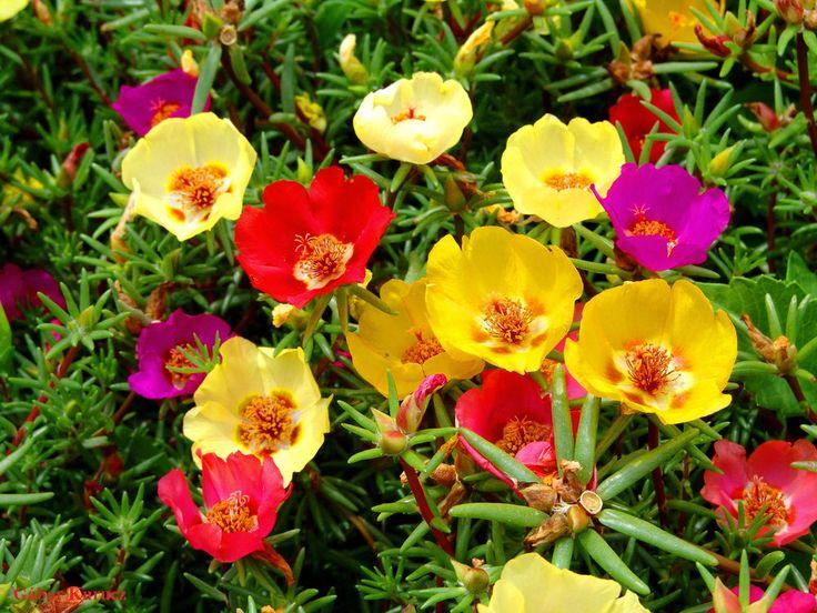 Moss Rose - MIX - Portulaca Grandiflora - 2000 fresh seeds  Flower alpine