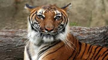 Dead tigers raise conservation doubts Read complete story click here http://www.thehansindia.com/posts/index/2015-08-13/Dead-tigers-raise-conservation-doubts-169681