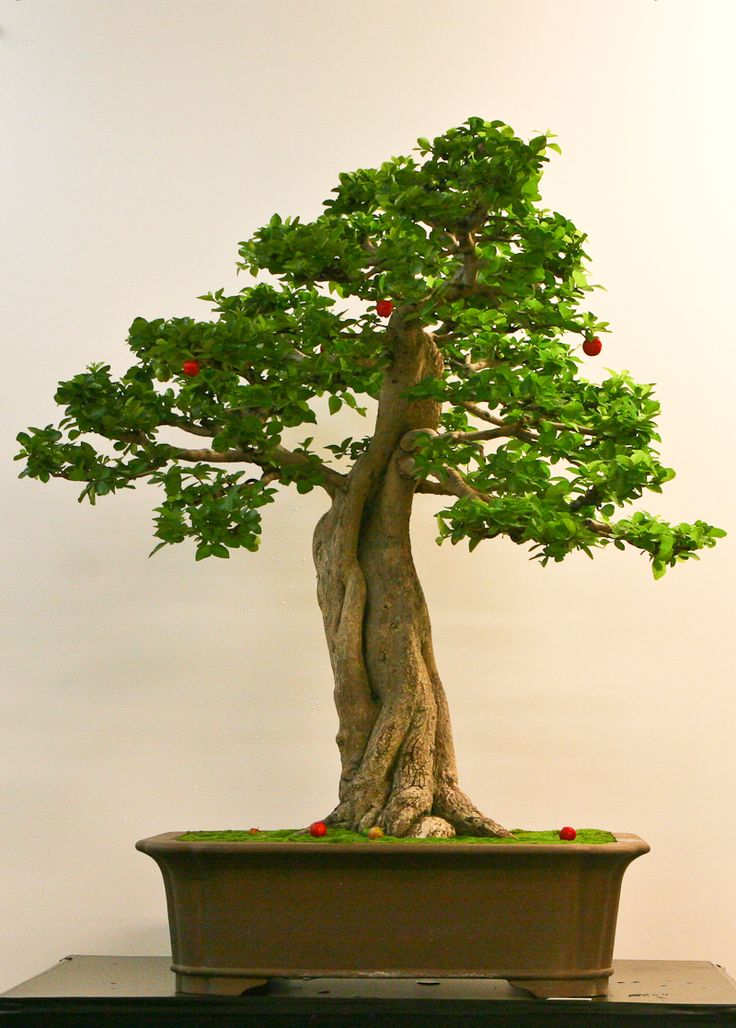 39 best images about barbados cherry on pinterest bonsai trees shrubs and in the family - Plantas para bonsai ...