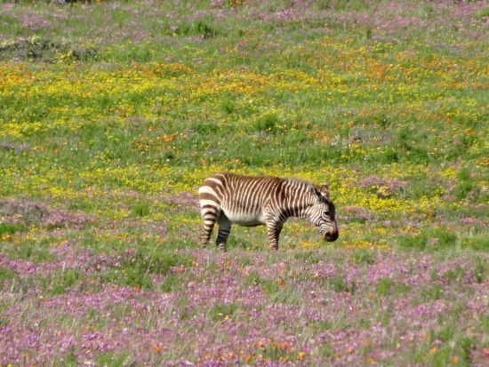 Zebra in the Wild flowers - South Africa