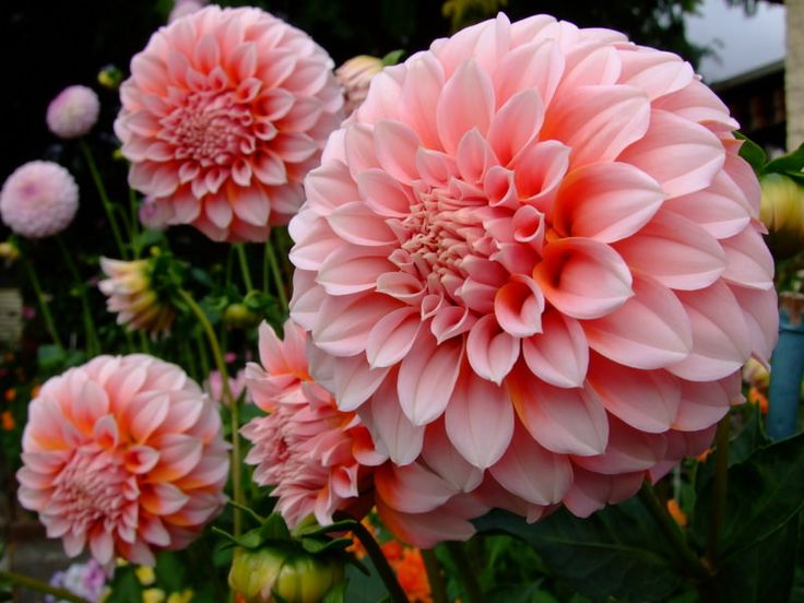 560 best dahlias images on pinterest | flower gardening, flowers