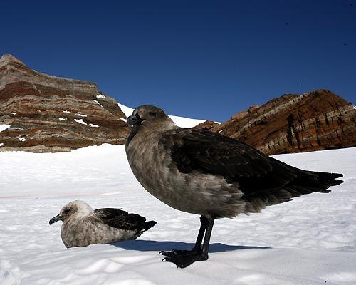 Catharacta maccormicki/South polar skua/ナンキョクオオトウゾクカモメ