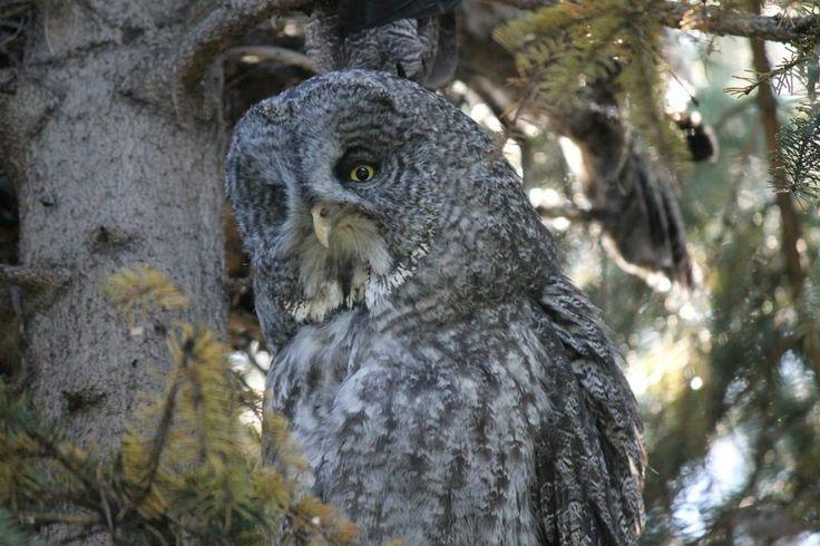 Great Gray Owl Species