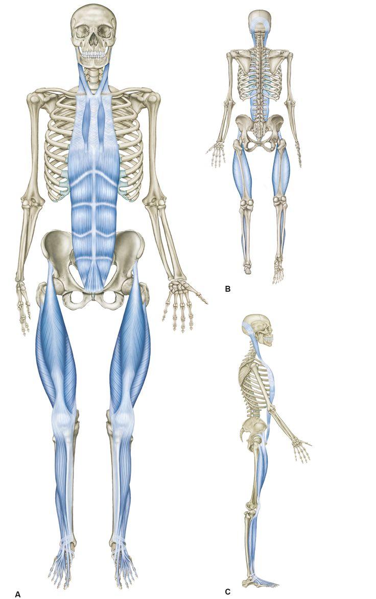 Abb. 4_Die oberflächliche Frontallinie: Diese vordere Linie verläuft von den Zehen bis zum Becken, dann über den Bauch bis in den Hals und zum Kopf. Zwar ist sie zweigeteilt, doch im aufrechten Stand agiert sie wie eine einheitliche Zuglinie von unten nach oben. Ihre Aufgabe ist die Stabilisierung des Oberkörpers in der Haltung, außerdem macht sie Bewegungen und Beugungen, Heben und Senken des Oberkörpers möglich