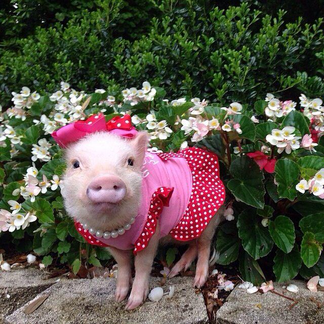 ピンクの洋服でおめかしした豚の赤ちゃん