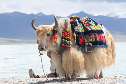 A castrated male yak is called a yak. An intact male (bull) is called a boa while a female (cow) is called a dri.