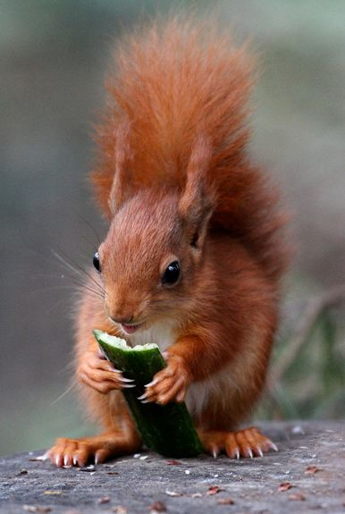 Baby red squirrels - photo#13