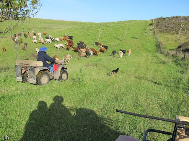 Here is our (Jennifer + David) shadow on a 4 wheeler or quad bike and David's dad and dog Mack shifting cattle from one paddock to another.  The farm is world's away from our life in Wellington but oh, how we love getting out there and just breathing in the fresh air and taking in the expansiveness of it all.... and helping out with the chores when we can!