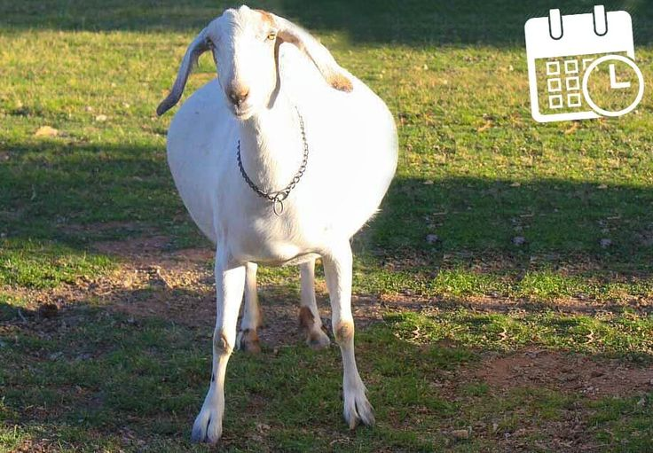 Goat Pregnancy Calculator:A simple tool to find the due date of the goat pregnancy on your farm.