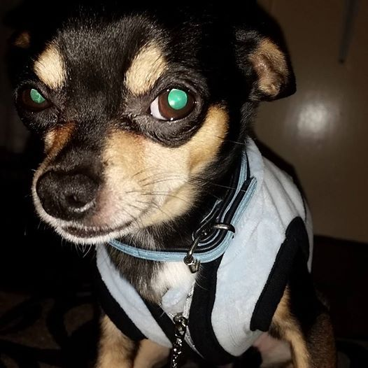 #chihuahua Look @ my eyes shirt and collar www.chihuahuaclothes.nl