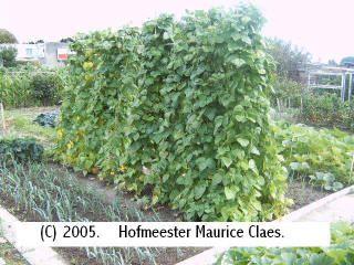groente: bonen kweken in de moestuin Phaseolus vulgaris staakbonen struikbonen boontjes plukken