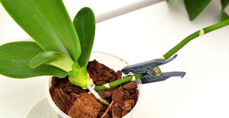 Cum se transplantează un pui de orhidee   Paradis Verde