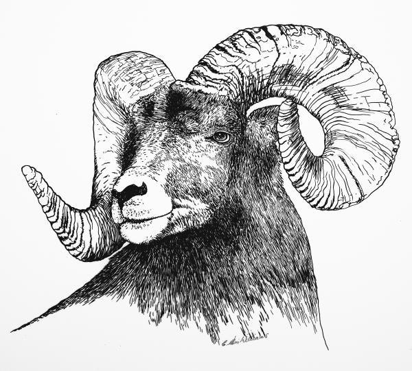 Big Horned Sheep Drawing  - Big Horned Sheep Fine Art Print