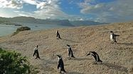 Penguins in South Africa's Western Cape
