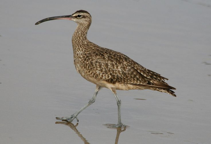Whimbrel, Numenius phaeopus Natural History of Orange County, California Whimbrel (Crystal Cove, 9-07).jpg (2266×1548)