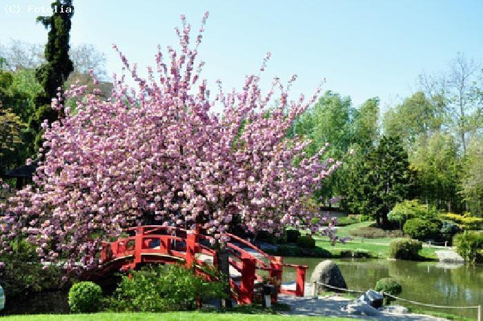 Cerisier en fleur dans un jardin japonais japon pinterest for Jardin japonais dessin