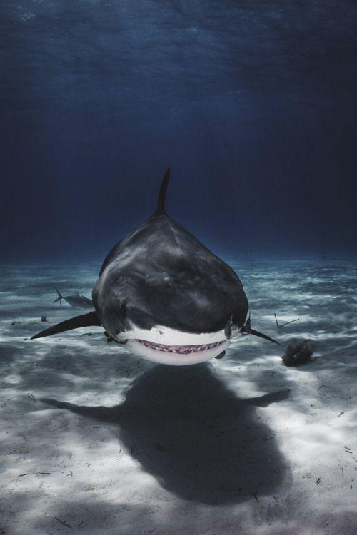 Cool Shark Wallpapers The Wallpaper