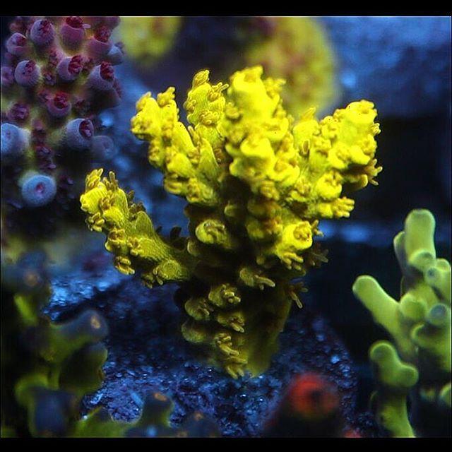 Acropora Desalwii - Bright doesn't even describe the intensity of this coral. #acropora #aquarium #amazingcoral #allmymoneygoestocoral #coral #coralfrag #coralporn #coralwhores #drfragit #frag #frags #idfragthat #r2r #reef #reeflife #reeftank #reef2reef #reeferdise #saltlife #showtank #fishtanks #fishtankfanatics #coraladdict #coralfreaks #coraltank #aquaculture #reefbuilders #desalwii