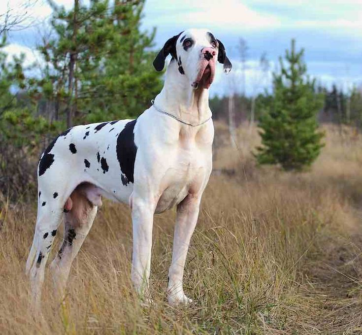 tallest dog breed in the world great danes