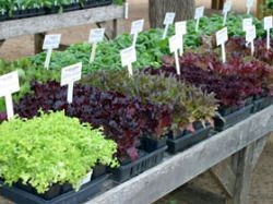 The Winter Vegetable Garden in Warm Climates