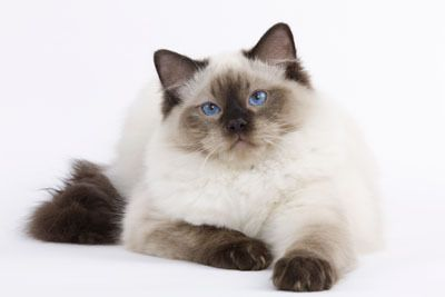 Ragdoll #cat