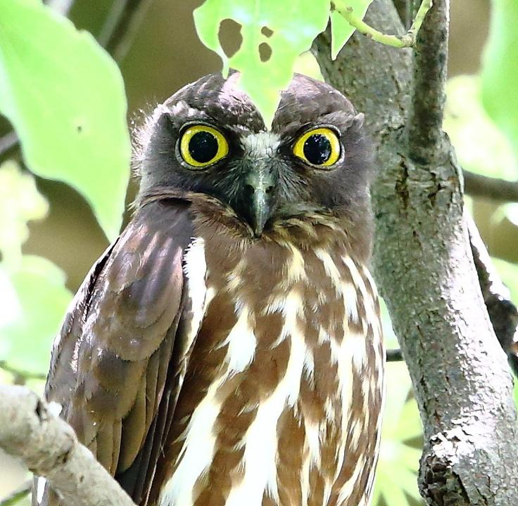Brown Hawk Owl By Kazumasa Hattori 500px Owls