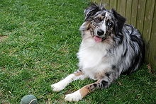 Miniature AustralianShepherd - United States - Herding, obedience, disc dog, and many other activities.