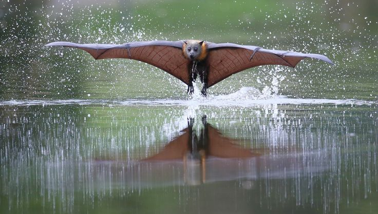 Another One Coming Straight At Me - Having just dipped its body into the water to wet its fur this Grey Headed Flying Fox breaks from the water and takes to the sky to lick the water off its fur.