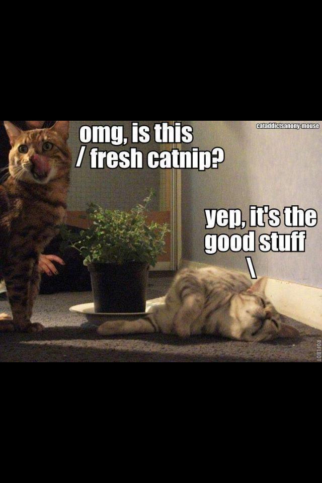 Catnip Crazy Catscrazy Cat Ladyfunny