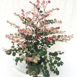 Breynia nivosa Hawaiian Snowbush