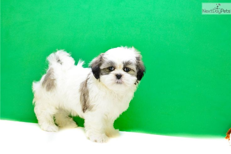 Shichon puppy for sale near Columbus, Ohio | 244da2a4-1431