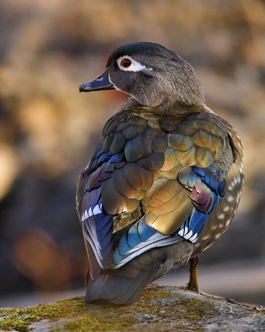 Female Wood Duck in the...: Photo by Photographer Linda G Yee - photo.net
