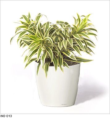 Pleomele Song of India live office tabletop plants for indoor use