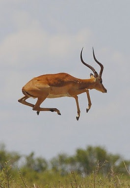 Known for their leaps, impala can jump about 10 feet high and when running, about 33 feet ahead!