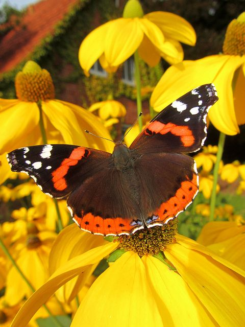 Red Admiral- I think this is what I saw (for the first time) at this Summer's end 2014
