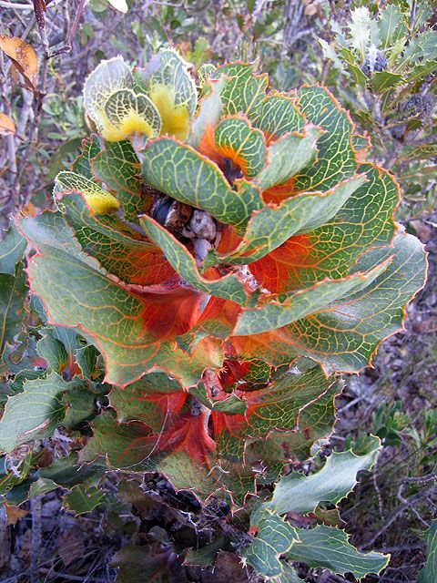 Royal Hakea (Hakea victoriae) is a shrub which is native to Western Australia and noted for its ornamental foliage