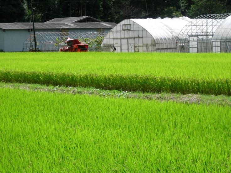 rice field in Japan